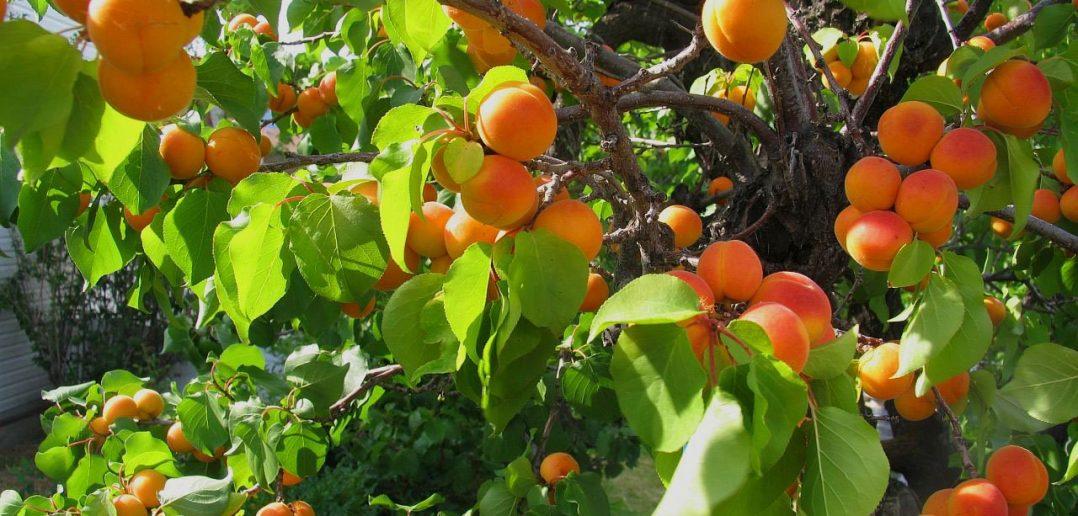 прививка абрикос