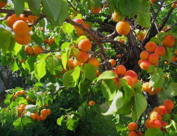 Прививаем абрикос на сливу
