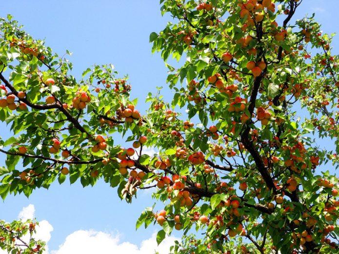 Часть кроны абрикоса со спелыми плодами