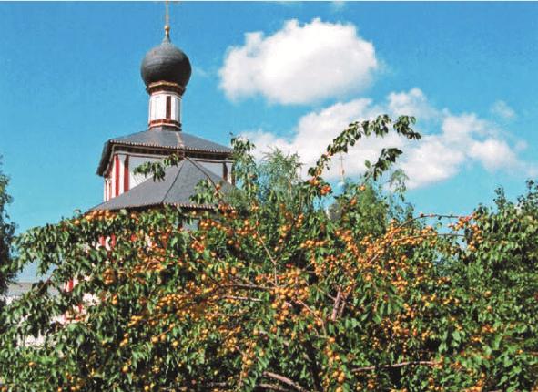 Плодоносящее дерево абрикоса сорта Монастырский