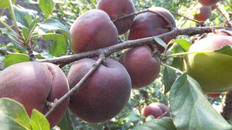 Чёрноплодный абрикос Чёрный принц