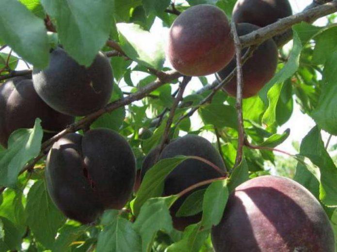 Плоды абрикоса Чёрный принц на дереве