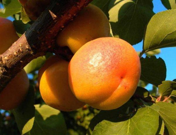 Абрикос сорта Фаворит — о чём спорят садоводы?