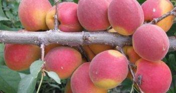 Сорт абрикоса Саратовский рубин