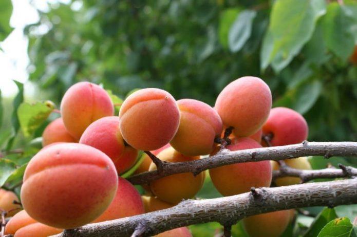 Плоды Саратовского рубина на ветке