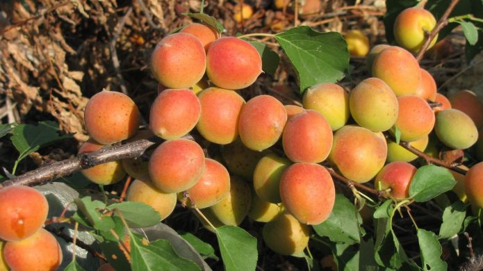 Сорт абрикоса Щедрый
