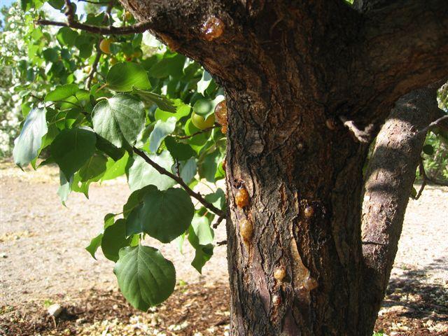Гоммоз абрикоса