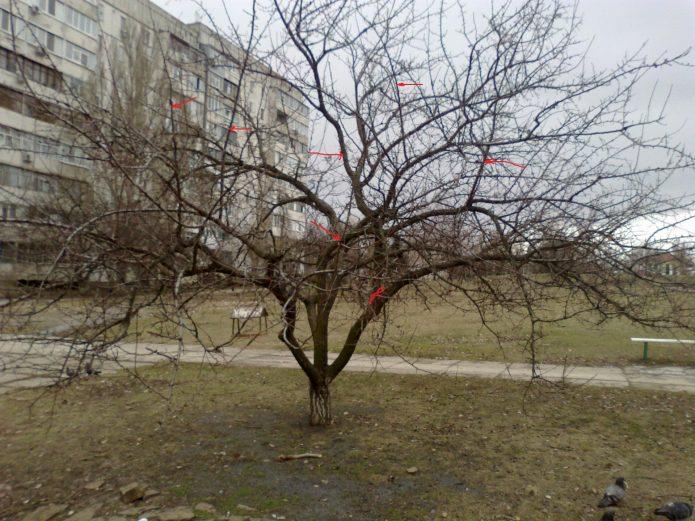 Дерево абрикоса зимой, авторский снимок