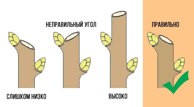 Схема обрезки «на почку»