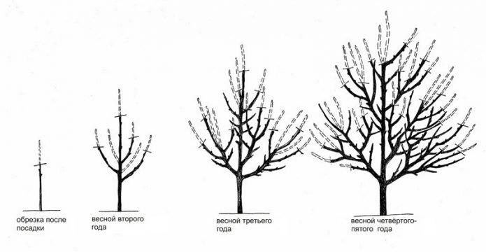 Схема разреженно-ярусной формировки кроны абрикоса