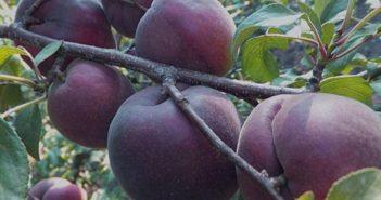 Чёрный абрикос