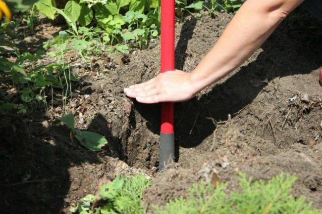 Отметка высоты для корневой шейки саженца