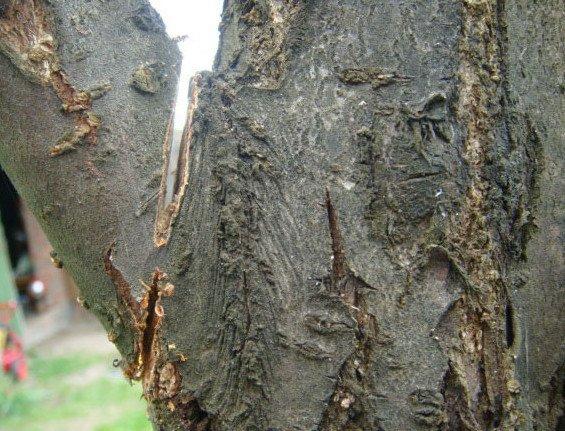 Обрезка толстой ветви