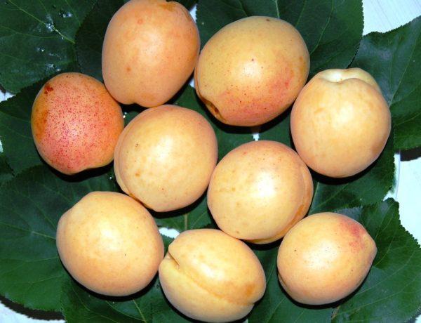 Колонновидные абрикосы: лучшие сорта и советы по выращиванию