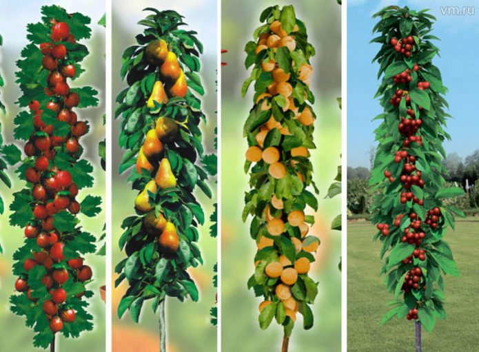 Колонновидные плодовые деревья