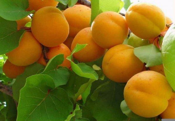 Плоды абрикоса Принц Март