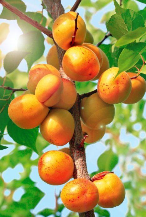 Плоды абрикоса Голд