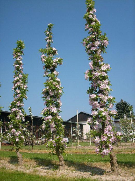 Цветение колонновидного абрикоса
