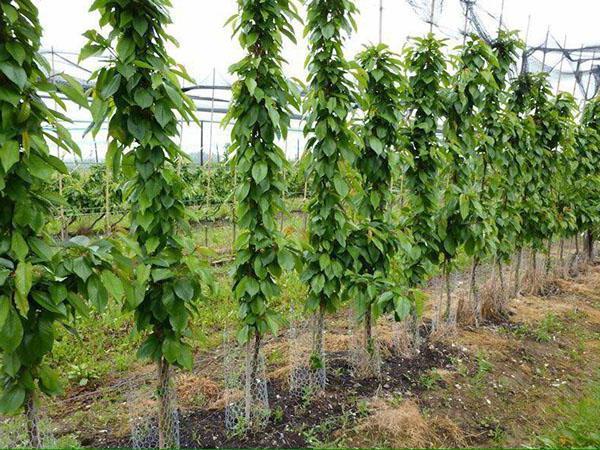 Посадки колонновидных абрикосов