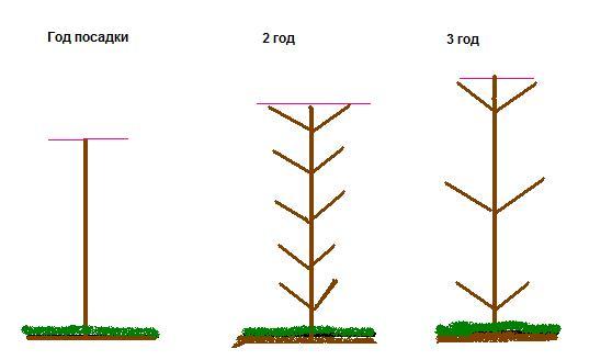 Схема обрезки колонновидного абрикоса