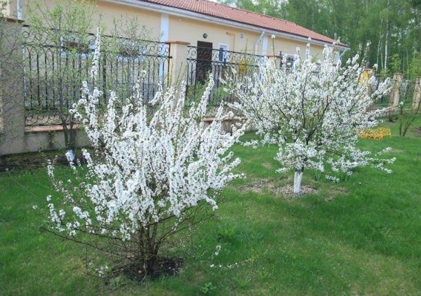 Кустовая вишни в защищённом месте