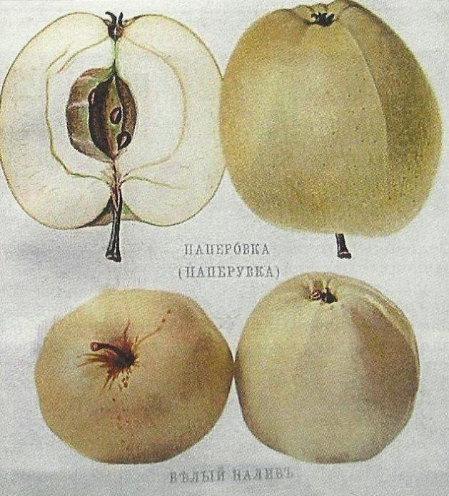 Страница из «Атласа плодов» А. С. Гребницкого