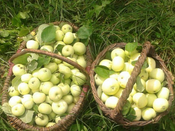 Собранный урожай Белого Налива