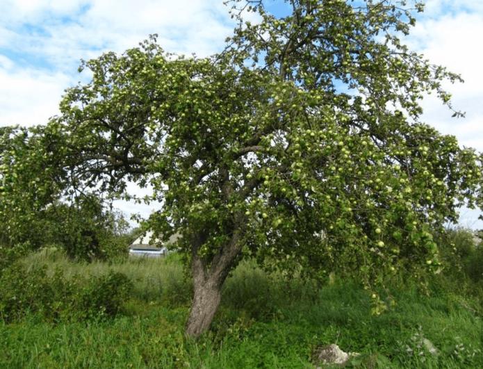 Дерево Белого Налива среднерослое и раскидистое