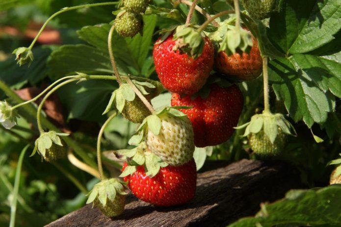 Высокоурожайный сорт голландской селекции Корона
