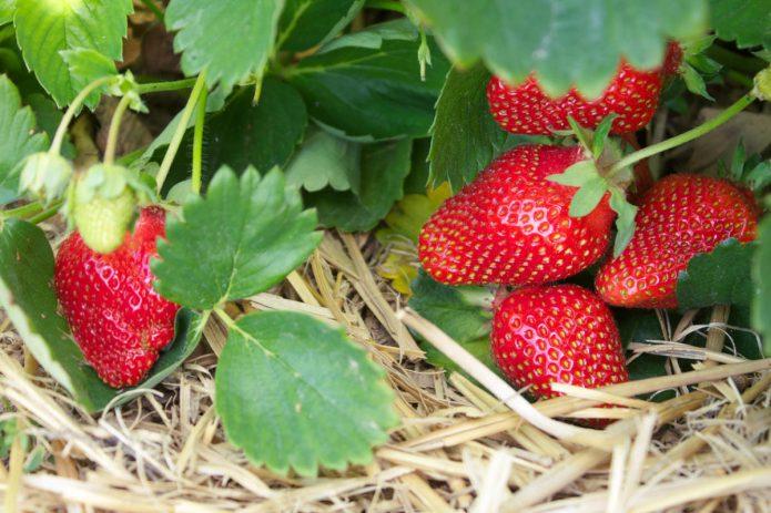 Сорт садовой земляники Альбион