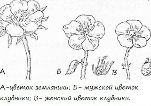 Рисунок мужского и женского цветка клубники и земляники