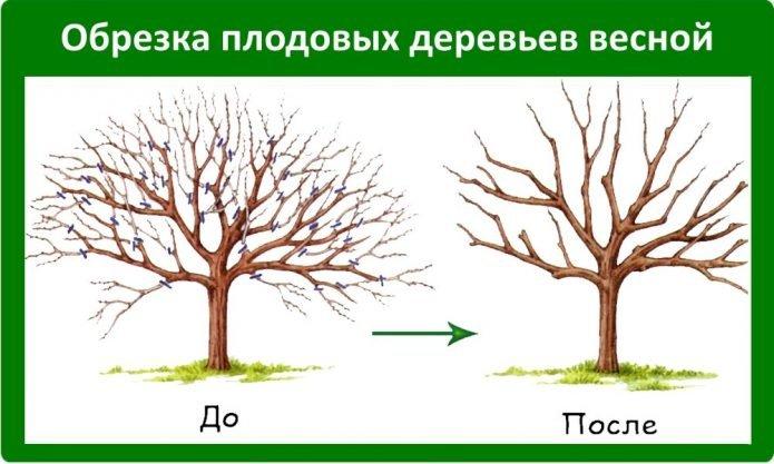 Схема регулирующей обрезки яблони