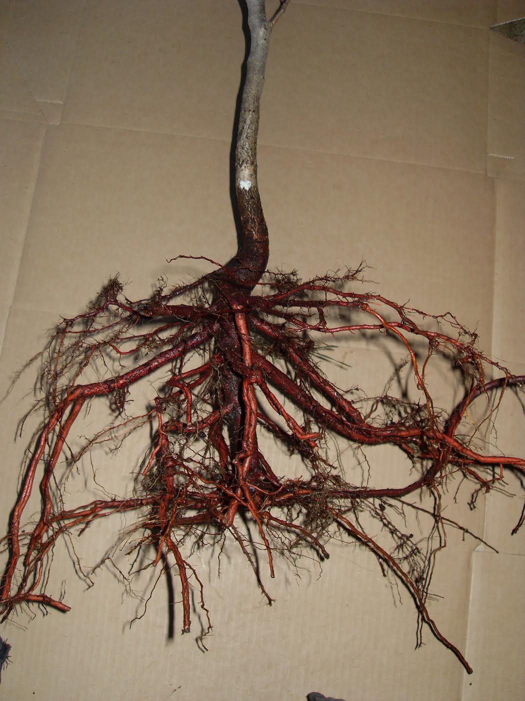 как растет корень груши фото белла картинки рабочий