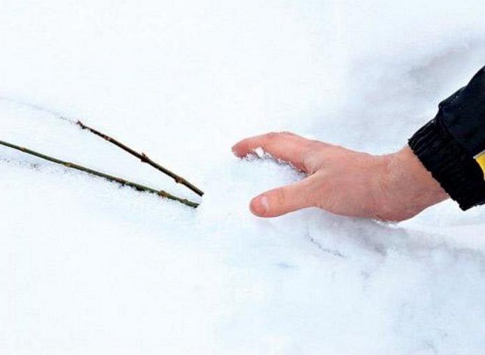 Снегование саженцев