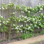 Яблоня по типу пальметта на заборе