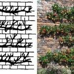 Яблоня по типу пальметта у стены здания