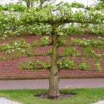 Плоская яблоня