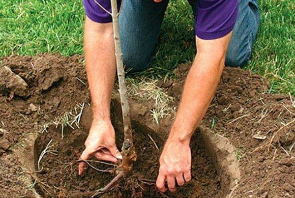 Саженец с расправленными корнями