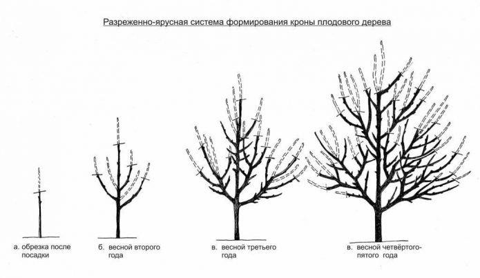 Схема разреженно-ярусной формировки яблони