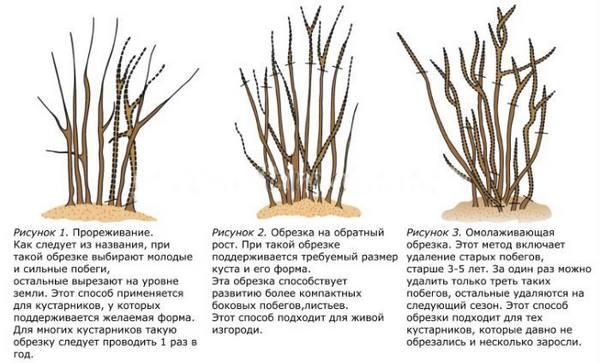 Виды обрезок крыжовника