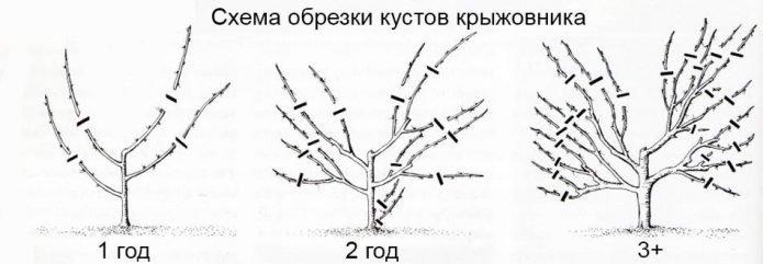 Схема формирующей обрезки крыжовника