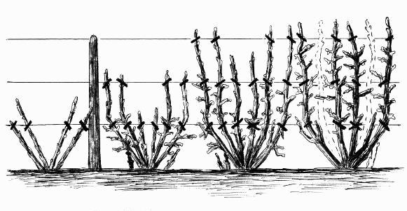 Схема обрезки крыжовника на шпалере