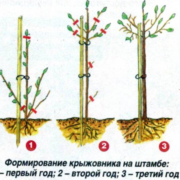 Схема штамбовой обрезки крыжовника