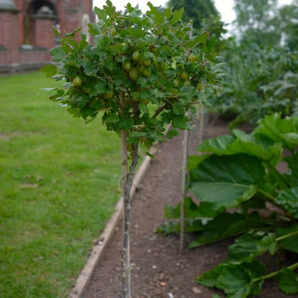 Штамбовый крыжовник в саду
