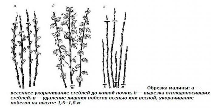 Схема обрезки обычной малины