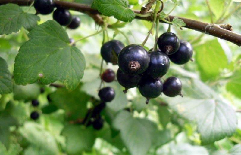 Куст чёрной смородины с созревшими плодами