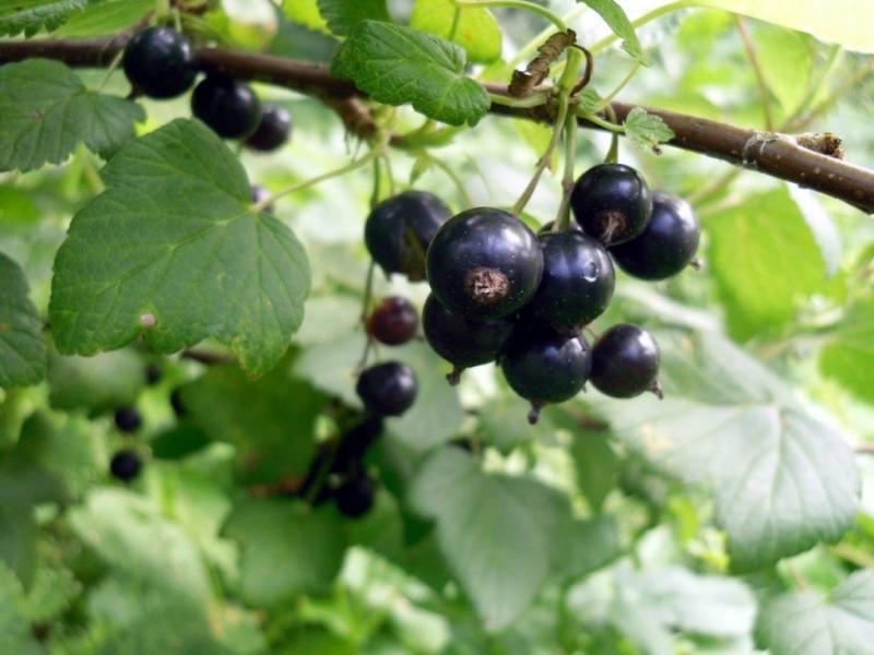 Можно ли пересаживать взрослые кусты смородины