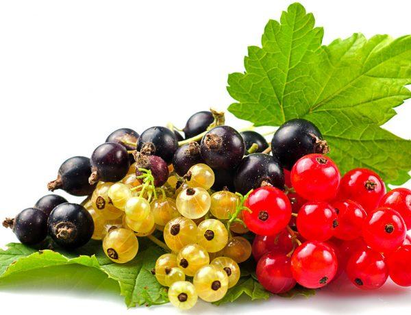Обработки смородины от болезней и вредителей