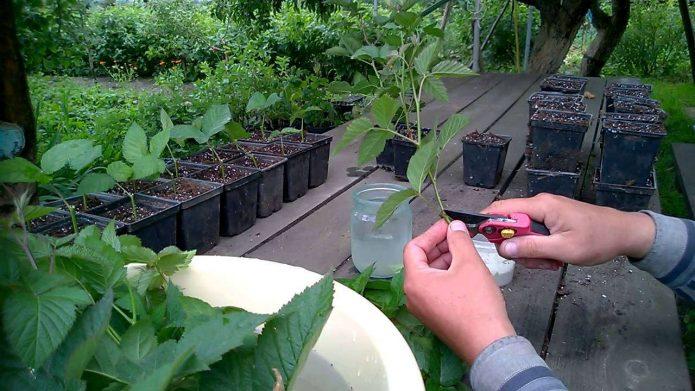 Посадка малины зелёными черенками