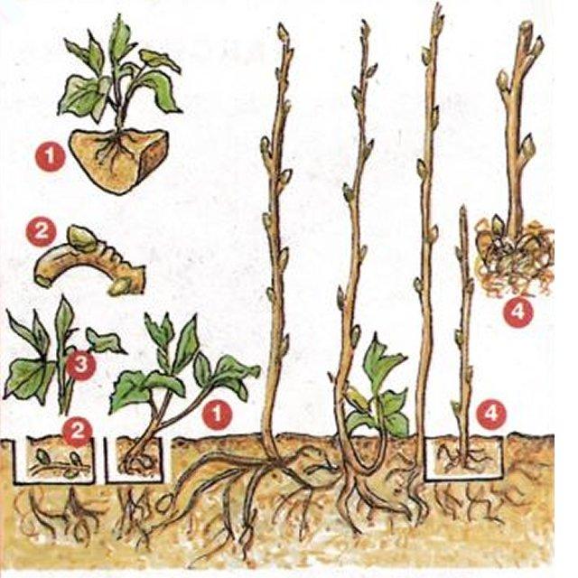 Черенкование малины